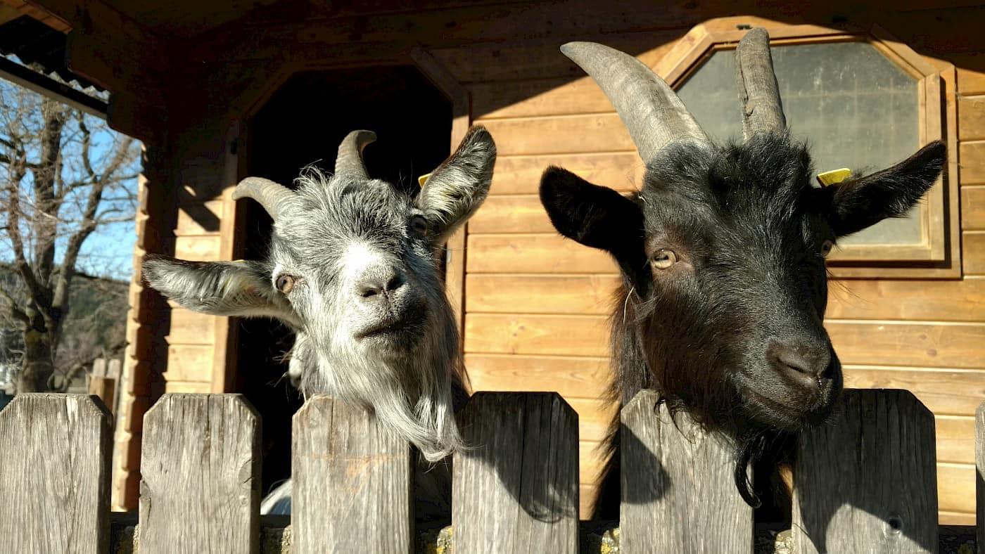 Ziegen am Ponyhof